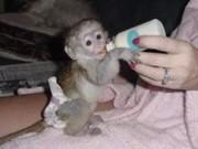 Ну Приручен Ласковая Ангельские обезьяна капуцин Детские для свободног